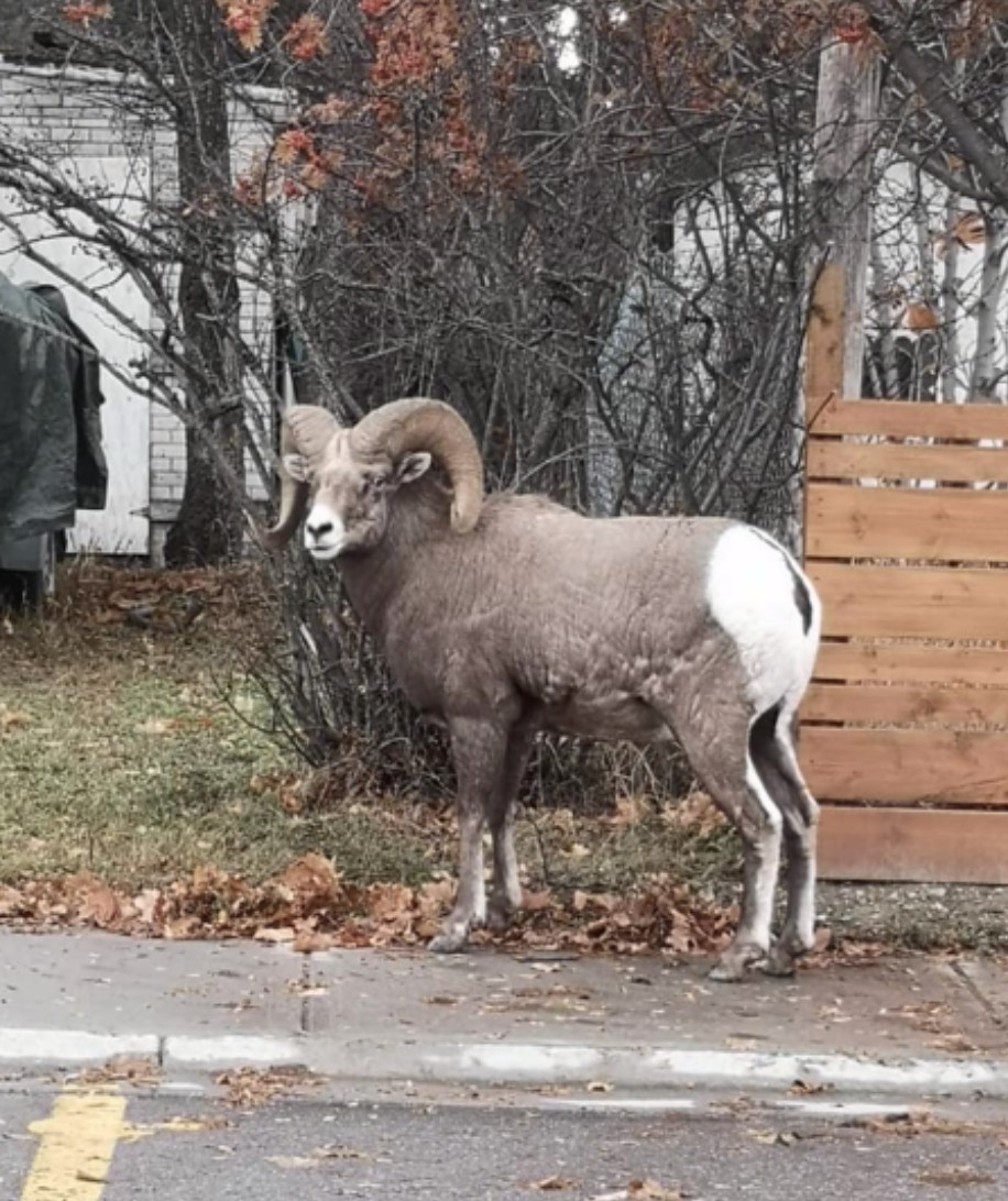 Bighorn sheep spotting in a neighbourhood in Radium Hot Springs, BC.