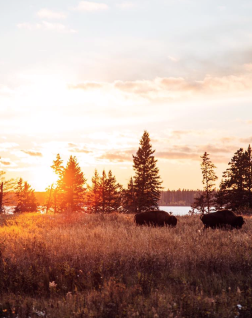 Bison in Onanole, Manitoba during sunset.